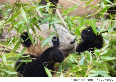 Giant panda eating bamboo 31724055