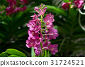Beautful purple orchid flowers with buds 31724521