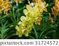Mokara super yellow orchids in spike. 31724572
