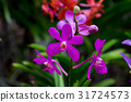 x Mokara Calypso orchids in purple. 31724573