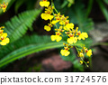 Oncidium Goldiana is known as golden shower orchid 31724576