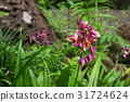 Spathoglottis Peach orchid in purple 31724624