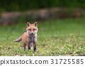 Kita狐狸的孩子们 31725585