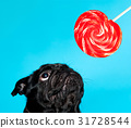 Black pug with lollypop 31728544