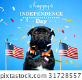 Black pug on the fourth of July 31728557