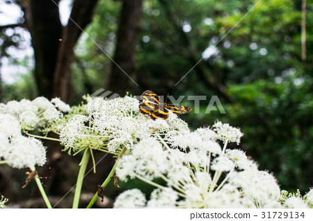 Daitun Mountain,Butterfly,Aitai,Baiyun,Trail 31729134