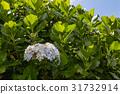 Hortensia grows on Sao Miguel island everywhere 31732914