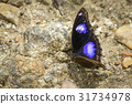 Image of Male Danaid Eggfly Butterfly. 31734978