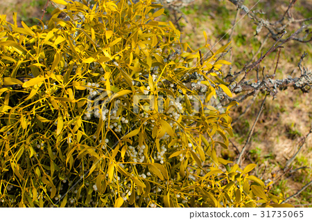 Mistletoe on a tree 31735065