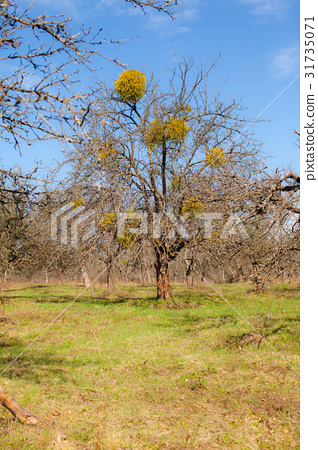 Mistletoe on a tree 31735071