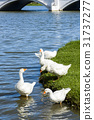 The goose on the pond 31737277