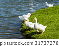 The goose on the pond 31737278