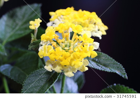 Lantana · bandana yellow 31745591