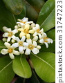 pittosporum, tobira, japanese 31747223