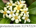 pittosporum, tobira, japanese 31747224