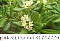 pittosporum, tobira, japanese 31747226