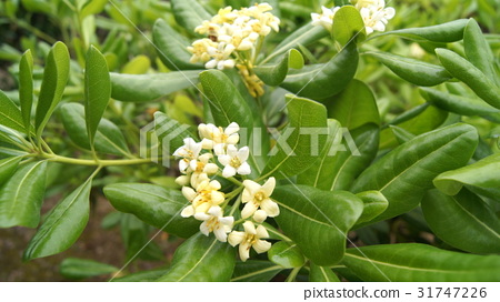 pittosporum tobira, japanese pittosporum, japanese mock-orange 31747226