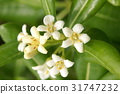 pittosporum, tobira, japanese 31747232