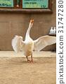 鴨 鴨子 鳥兒 31747280