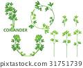 coriander herb vector illustration 31751739