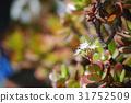 青鎖龍 翡翠木 鮮花和月亮 31752509