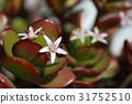青鎖龍 翡翠木 鮮花和月亮 31752510