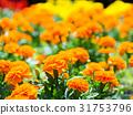 꽃, 오렌지색, 맑음 31753796