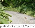 Hazel, Grouse, wild 31757812