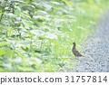 Hazel, Grouse, wild 31757814