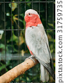 Galah Or Eolophus Roseicapilla, Also Known As The 31759735