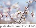 ume, white plum blossoms, bloom 31764145