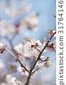 ume, white plum blossoms, bloom 31764146