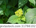 hydrangea, bloom, blossom 31766102