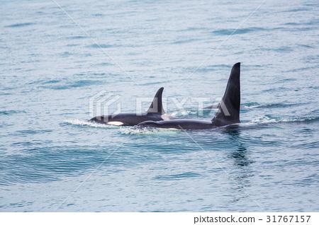 Orca 31767157