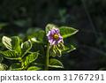 户外 植物 植物学 31767291