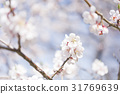 ume, white plum blossoms, japanese plum 31769639