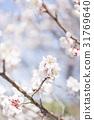 ume, white plum blossoms, japanese plum 31769640
