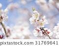 ume, white plum blossoms, japanese plum 31769641
