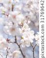 ume, white plum blossoms, japanese plum 31769642