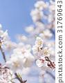 ume, white plum blossoms, japanese plum 31769643