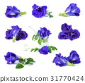 Butterfly Pea isolated on white background 31770424