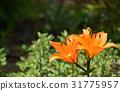 꽃, 플라워, 백합 31775957