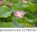 ดอกบัว,ดอกไม้,ฤดูร้อน 31780582