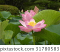 ดอกบัว,ดอกไม้,ฤดูร้อน 31780583