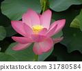 ดอกบัว,ดอกไม้,ฤดูร้อน 31780584