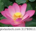 ดอกบัว,ดอกไม้,ฤดูร้อน 31780611