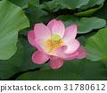 ดอกบัว,ดอกไม้,ฤดูร้อน 31780612