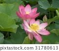 ดอกบัว,ดอกไม้,ฤดูร้อน 31780613