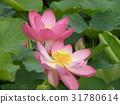 ดอกบัว,ดอกไม้,ฤดูร้อน 31780614