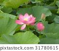 ดอกบัว,ดอกไม้,ฤดูร้อน 31780615